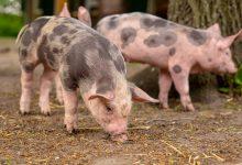 Photo of Brakuje wieprzowiny, ceny w górę!