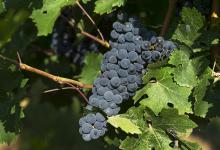 Photo of Blisko 300 podmiotów w Polsce produkuje wino