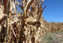Photo of Idzie susza? Eksperci ostrzegają przed podwyżkami cen żywności.
