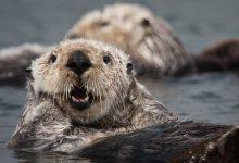 Photo of Jak wydry morskie mogą walczyć ze zmianami klimatu?