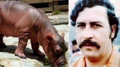 Photo of Kolumbia zmuszona do sterylizacji stada hipopotamów Pablo Escobara
